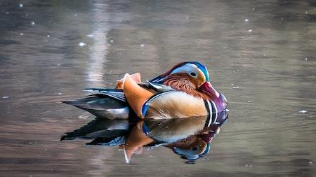 duck-swimming